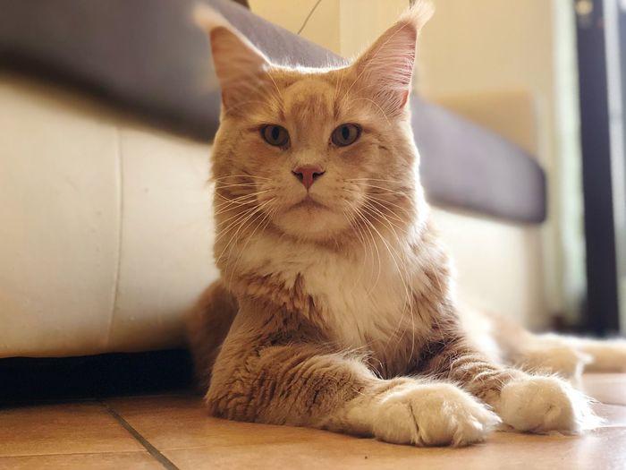 My love 😺 Like Follow4follow Mainecoon EyeEm Selects Cat Feline Mammal Domestic Cat Animal Themes One Animal Pets Animal No People Domestic Animals