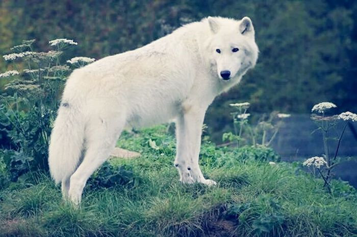 Wolf. Nature Uk . wolves Check This Out animal zoo Wolfs