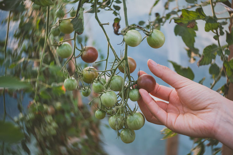 Red ripe tomato in hand Greenhouse Farming Nikon D750 Body Part Burnside  Coutryside Day Finger Focus On Foreground Food Food And Drink Freshness Fruit Garden Green Color Greenhouse Greenhouse Plants Growth Hand Healthy Eating Holding Human Body Part Human Hand Leaf Lensbaby  One Person Outdoors Plant Plant Part Real People Ripe Unrecognizable Person Wellbeing