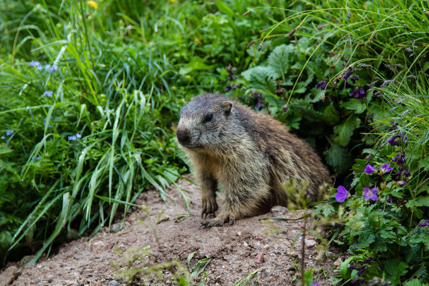 A groundhog or marmot inspecting the hiking humans from hos hole in the Bavarian Alps Animal Wildlife One Animal Animals In The Wild Vertebrate Mammal Outdoors Beauty In Nature Marmot Ground Hog Alps Bavaria Furry Gopher  Germany Grass Curious Curiosity Hungry Alertness Hole Mountain Rodent Hiking Hikingadventures Nature