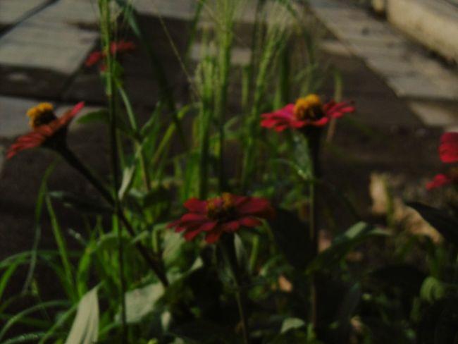 Thailand🇹🇭 ภาพเบลอ ดอกบานชื่น ดอกหญ้า Banana Flower Flower Growth Red Plant Nature Outdoors No People Freshness Day Close-up