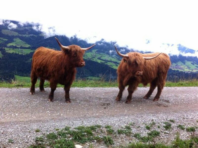 Nature Highland Cattle Landscape No People Sky Animal Themes Beauty In Nature Hiking Rural Scene Cows