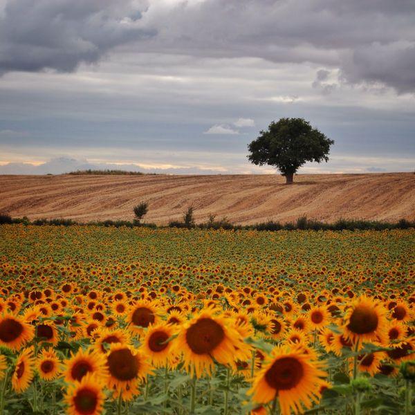 Nature Landscape Sunflower Sky