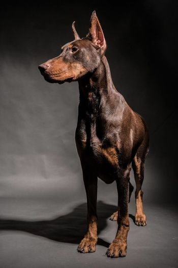 Dog Against Black Background
