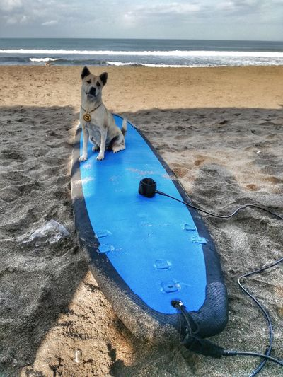 Pleeeease pleeease let's go surfinnng Beach Dog Pets Sea Water Sand Domestic Animals One Animal Animal Themes Day Outdoors Wet No People Mammal Horizon Over Water Nature Sky Surf Surfing Surfer Surfer Dude Bali Pacific Pacific Ocean