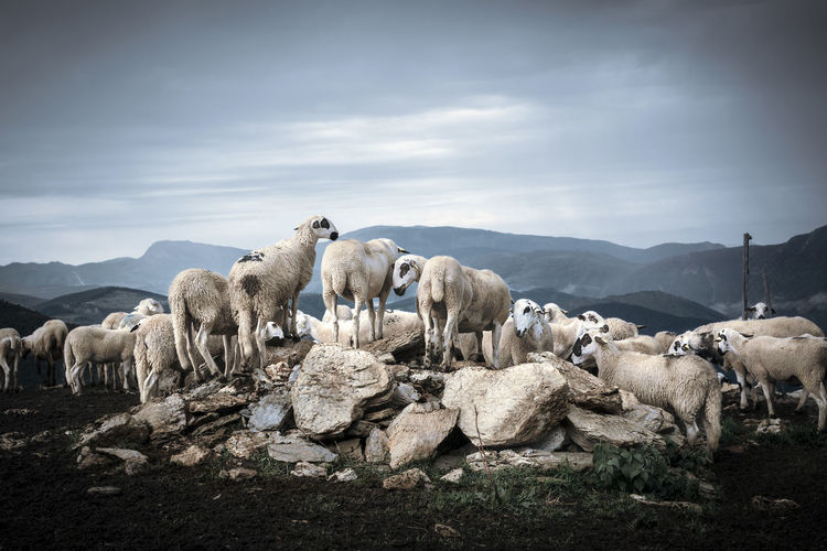Sheep on mountain against sky