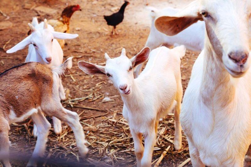 Goat family at ranch