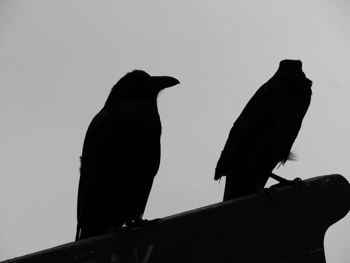 Crow Crows