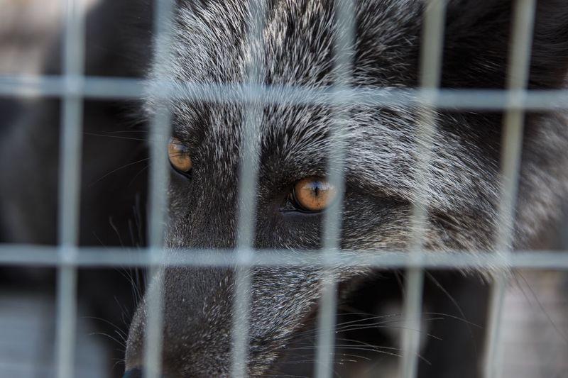 Black fox in a