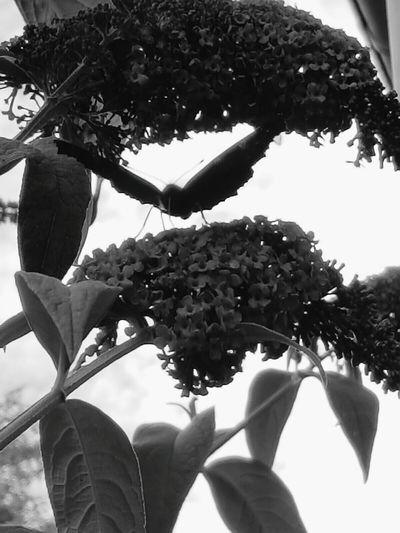 Blackandwhite Black And White Butterfly Black Butterfly Blackandwhite Photography Schwarzweiß Schwarz & Weiß Flieder Sommerflieder Schmetterling Elder Elderflower