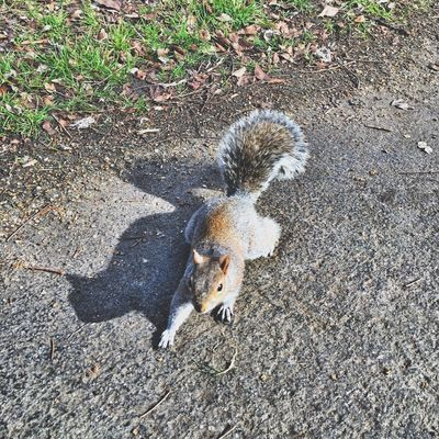 In action... 🐿 Squirrel Hyde Park London Lake Uk