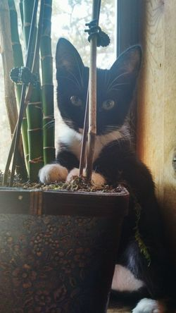 No People Mammal Indoors  Day Pretty Cat Sweet Kitty  Plant Lover Little Cats Indoor Plant Bamboo Bamboo Plant Indoor Cat Window View Sunshine