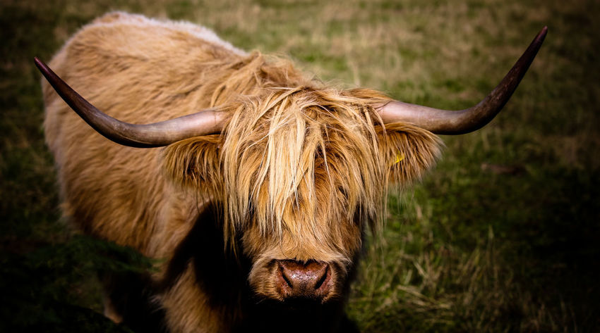 Cow Portrait Close Up Cow Portrait Close Up Of Cow Cow Face Cow With Horns Cow With Large Horns Farm Animals Hairy Cow Highland Cattle Highland Cow Horney Cow Scottish Cow Welsh Cow Animal Animal Themes Livestock