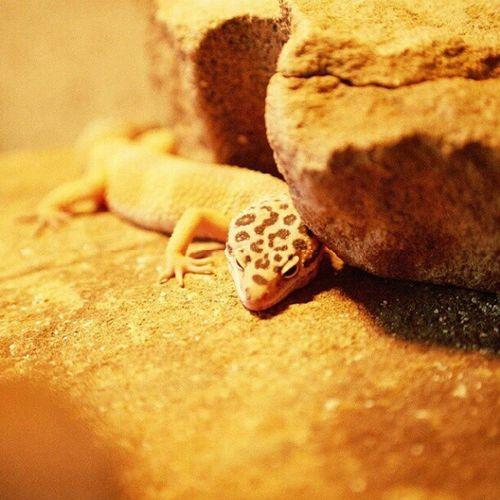 #Leopardgecko #Gecko #reptile #Terraristik #nofilter Gecko Nofilter Reptile Leopardgecko Terraristik