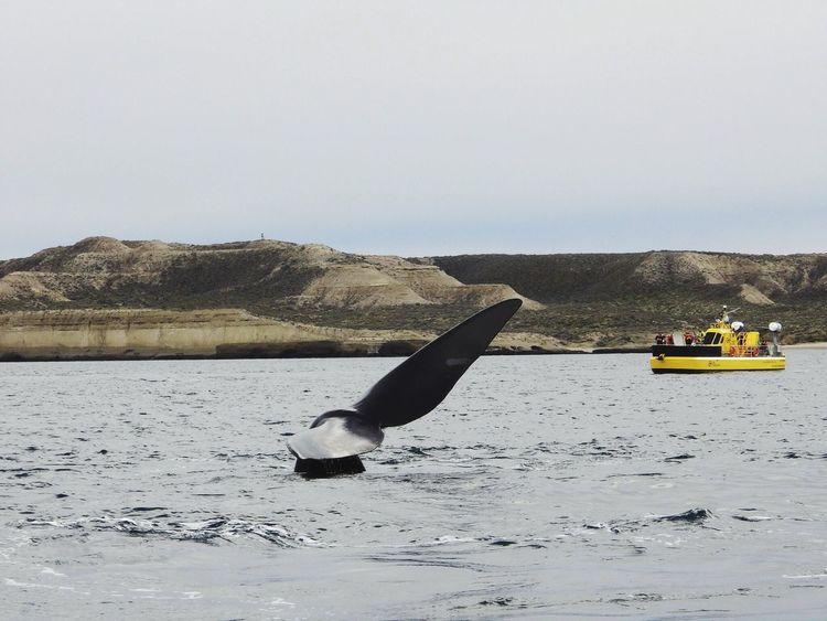 Whale Ballena Austral Nature Excursion Animals Argentina Puerto Piramides Landscape Atlantic Ocean