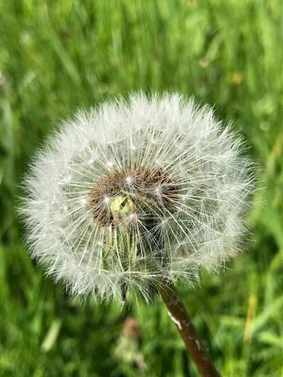 Fuzzy Flower Flowering Plant Plant Fragility Vulnerability  Dandelion Close-up Focus On Foreground Nature Flower Head