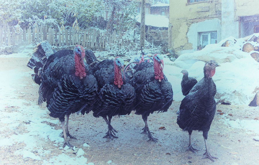 Turkey Run Animal Themes Bird Birds Chirstmas Christmas Dinner Cold Temperature Day Domestic Animals Feathers Full Length Livestock Mammal Nature No People Outdoors Snow Sünnetköy Thanksgiving Thanksgiving Dinner Turkey Sandwich Turkey ♡ Turkeys Village Life Weather Winter