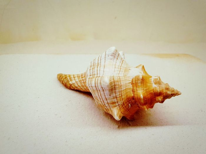 nature sea shell on white background EyeEmNewHere Editor's Picks Nature Photography White Background Indoors EyeEm Selects Close-up Seashell Animal Shell Honeycomb APIculture First Eyeem Photo EyeEmNewHere