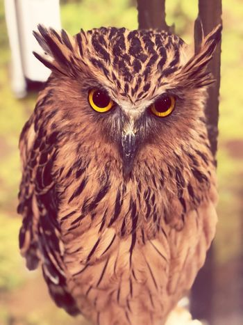 ふくろうカフェ フクロウ Bird One Animal Animal Themes Focus On Foreground Animals In The Wild Bird Of Prey Close-up