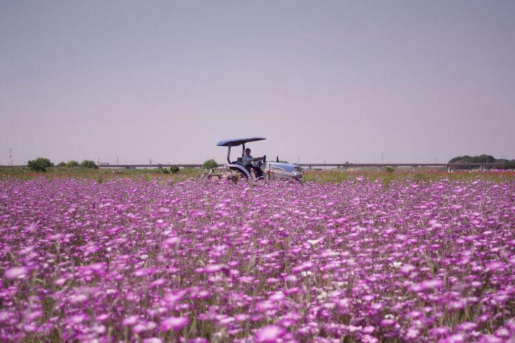 Flower 埼玉県鴻巣市 麦なでしこ Pentax K-3 ポピー