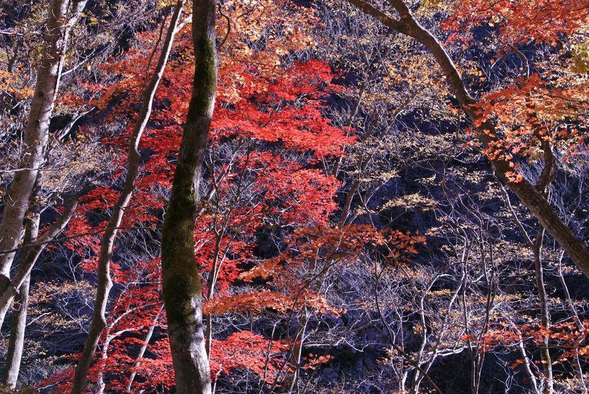 紅葉 Autamn Red Yellow Green Japan 四季