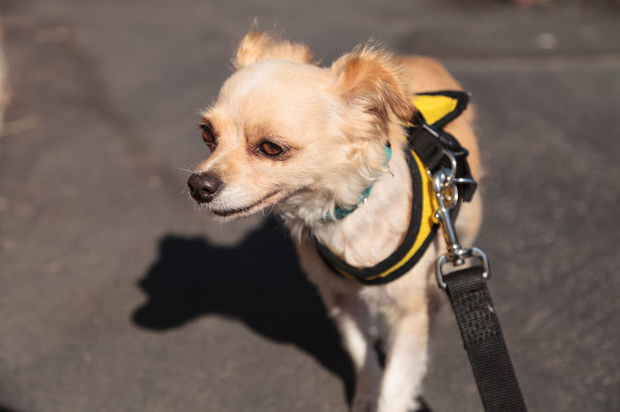 Small blond Chihuahua puppy dog in a yellow harness on a walk Chihuahua Cute Dog Dog Harness Dog Walk Domestic Animals Mammal One Animal Pet Pets Puppy