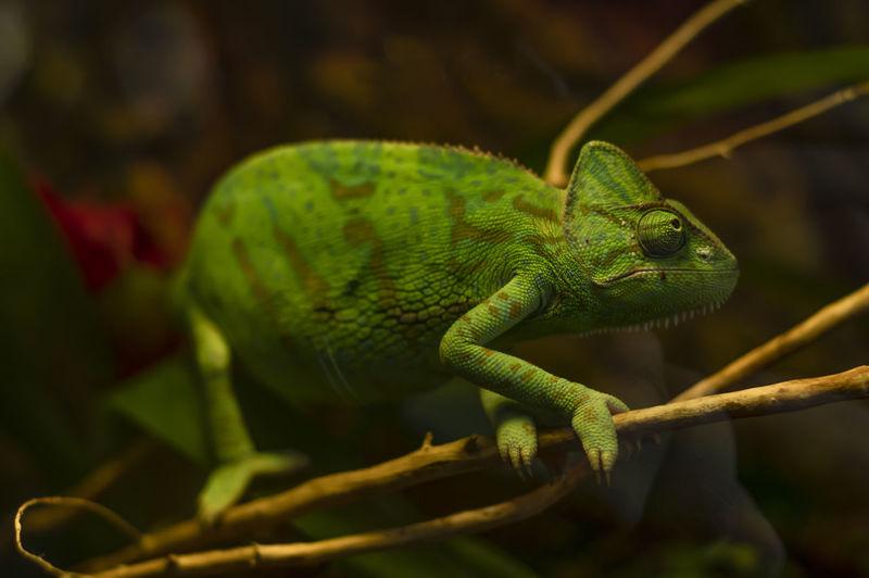 Yemeni chameleon on a branch in the terrarium.