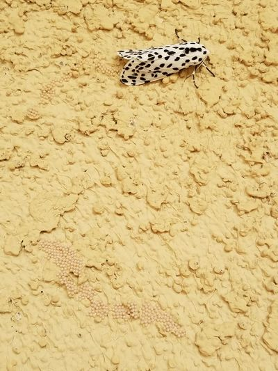 Black & White Moth Laying Eggs On Wall Outdoors