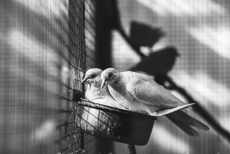 Love dove Blackandwhite Couple Dove EyeEm Selects No People Animal Animal Themes Close-up Animal Wildlife One Animal Shadow Cage Animals In Captivity Bird