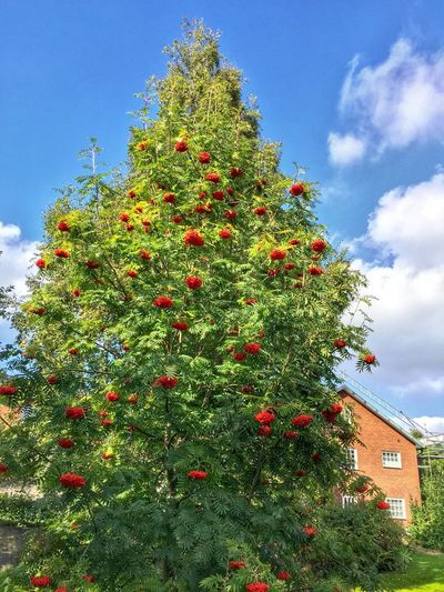 Red Growth Low Angle View Plant Built Structure Sky Architecture Freshness House Green Color Flower Building Exterior Growing Fragility Day Nature Outdoors Cloud - Sky Blue Beauty In Nature Plantation Bud Christmas Tree