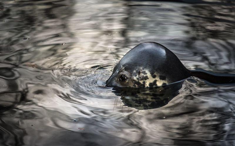 Close-up of seal swimming in lake