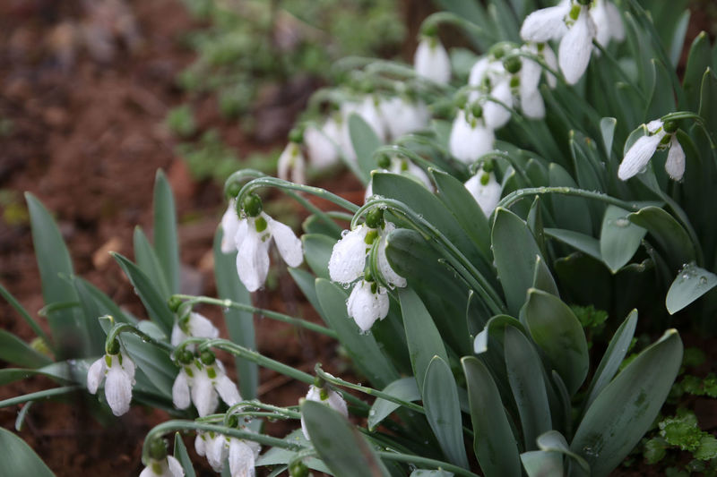 Fresh On Eyeem  Freshness Green Green Color Shades Of Winter Winter Beauty In Nature Close-up Day Forest Freshness Growth Nature No People Outdoors Plant Snow Snowball Snowballs Spring Spring Flowers Springtime White White Color White Flower