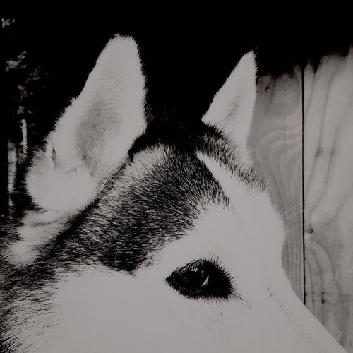 One Animal Animal Themes Pets Close-up Domestic Animals Mammal Animal Head  Cat Selective Focus Domestic Cat Feline Relaxation Whisker Resting Animal Nose No People Zoology Day Focus On Foreground Snout Husky Monochrome Photography