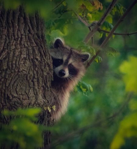 Love these lil dudes 😁✌Animals In The Wild Animal Themes Animal Wildlife Riverside Wildlife Tranquility Nature Photography EyeEm Best Shots - Nature Wildlifephotography Wildlife Photography Wildlife Photos Nature My Unique Style Nature Is Art Tranquil Nature Scene Wildlife & Nature Wildlifephotographer Raccoon Lover Raccoon In Tree Peaceful View Outdoors Photograpghy  Peaceful Nature Beautiful Nature Wildlife And Nature My Point Of View Raccoon Climbing Tree
