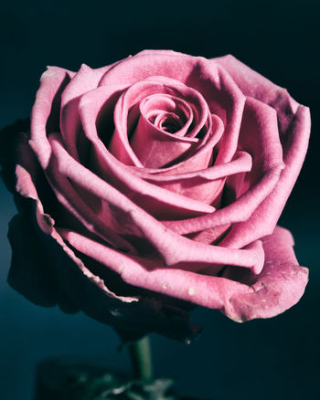 Beauty In Nature Black Background Close-up Flower Flower Head Freshness Lifestyles Livethelittlethings LiveYourLife Minimal Minimalism Minimalmood Minimalstyle Nature Peoplecreatives Pink Color Rose - Flower Still Life Still Life Photography YouLiveOnlyOnce