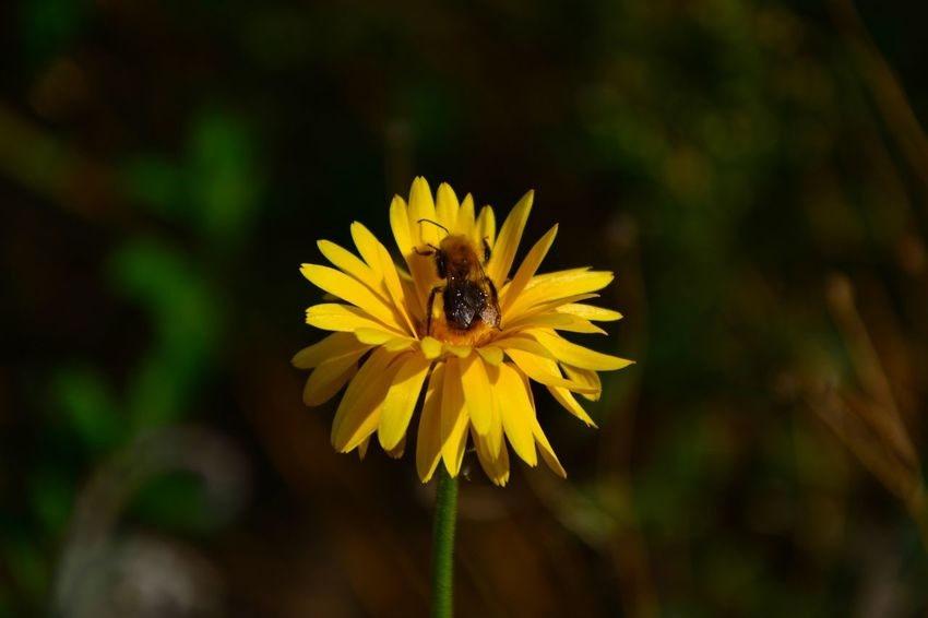 Flower Head Flower Yellow Petal Insect Bee Nature Reserve Close-up In Bloom Flowering Plant Blossom Plant Life