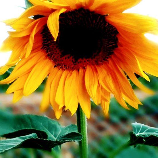 Hello World ✌ EyeEm Best Shots EyeEm Gallery EyeEm Helloworld Gaziantep Türkiye Flower Single Flower Suriye Sınır Sıfır Noktası Haftasonu Haftasonukeyfi Sony Xperia Z2
