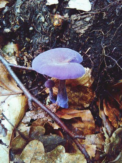 Funny Mushrooms Violet Forest Nature