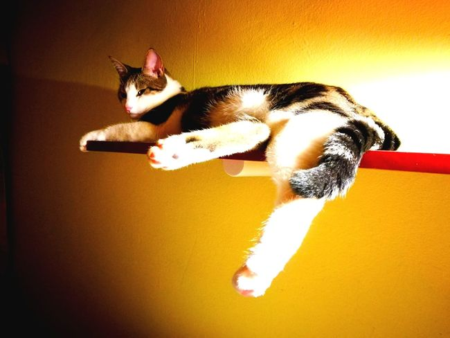 Pets Domestic Cat Animal Themes One Animal Indoors  No People Yelow Red Domestic Animals Indoors  Cat Photography Yelow Wall Cats 🐱 Cats Of EyeEm Cat Laying Collourfull Collor