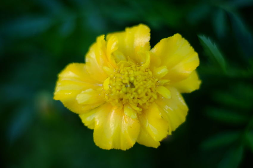 Flower Head Flower Yellow Beauty Petal Daffodil Springtime Blossom Close-up Plant