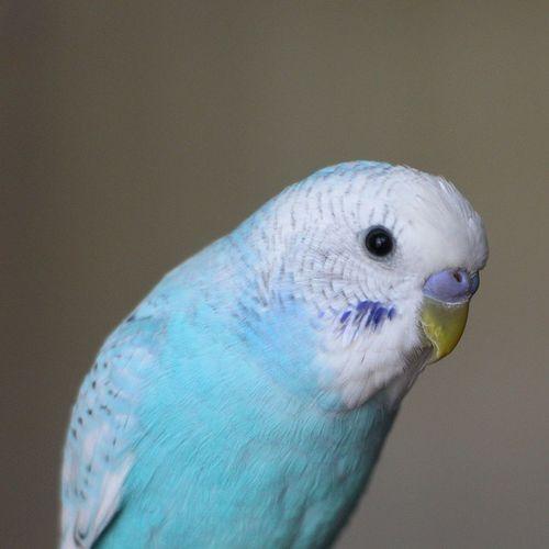 Nano Parakeet セキセイインコ
