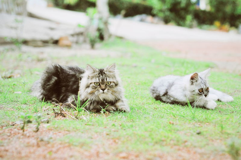 Portrait of cats relaxing on grass