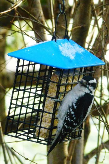 Blue Animal Themes One Animal Hanging No People Animals In The Wild Bird Photography Close-up Tree Outdoors Cage Nature Perching Macro Photography Macro Nature Macro_collection Wood Pecker