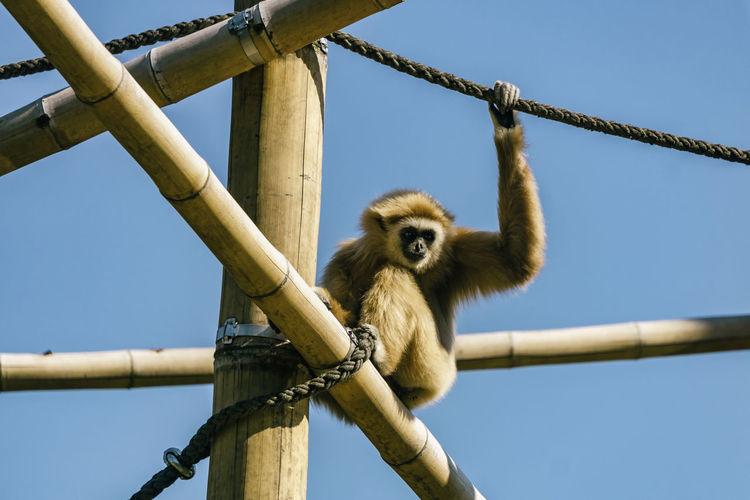 Berlin, Germany, May 29, 2018: Close-Up of Gibbon Sitting on Scaffold at Tierpark Berlin Germany 🇩🇪 Deutschland Horizontal Nature Tierpark Berlin Zoo Animal Animal Themes Bamboo Beauty In Nature Captive Animals Close-up Color Image Day Gibbon Gibbon - Ape Mammal Monkey No People One Animal Outdoors Primate Scaffold Vertebrate Zoological Garden