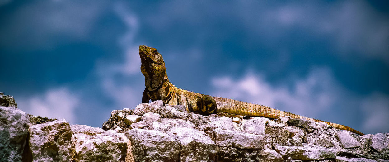 Panoramic Shot Of Lizard On Rock