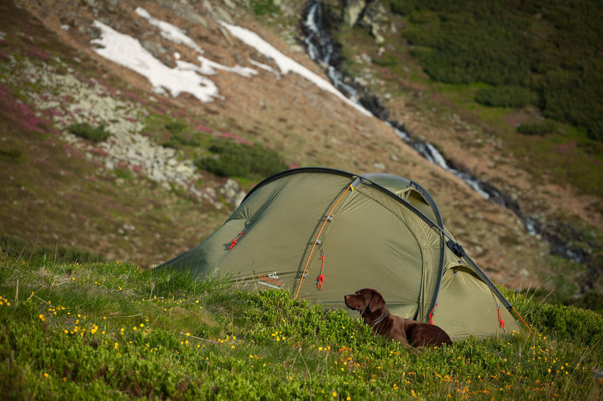 Camping with tent and dog in Rodnei Mountains, Romania. Carpathians Grass Green Nature Adventure Animal Beauty Camping Dog Domestic Animals Flowers Hiking Landscape Mammal Mountain One Animal Outdoors Pets Snow Springtime Summer Tent Wild