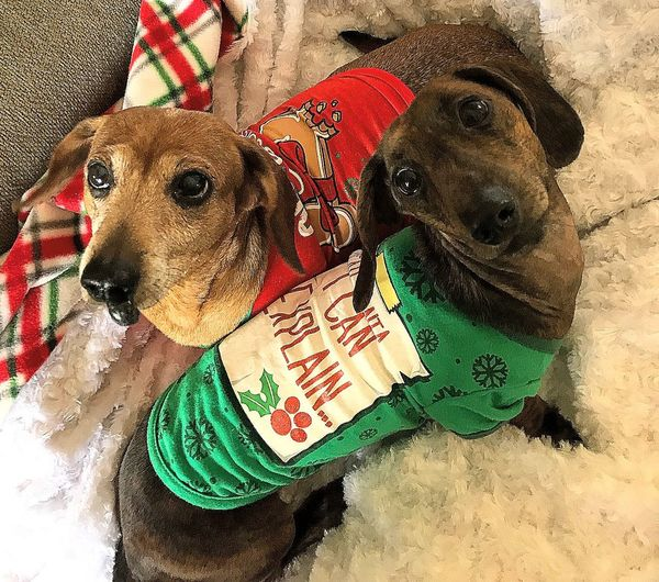 we're too cute for Santa Portrait Portrait Photography Dogs Dog Christmas Portrait Christmastime Dachshund Dog Animal Themes Pets Domestic Animals One Animal Mammal No People
