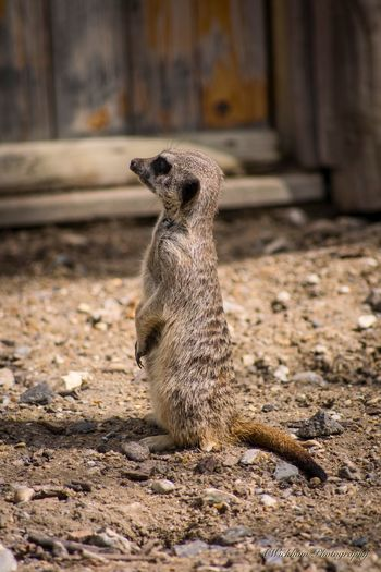 Meerkat standing tall Meerkat One Animal Animal Themes Meerkat Mammal Animals In The Wild Day No People Animal Wildlife Outdoors Full Length Nature Close-up