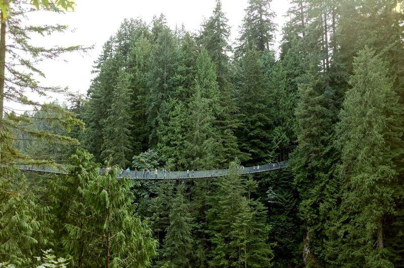 Mid distance of tourists on footbridge amidst pine trees