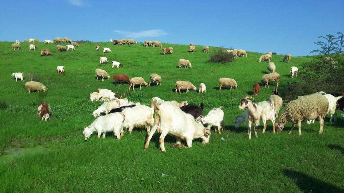 Sheep Goats Green Blue